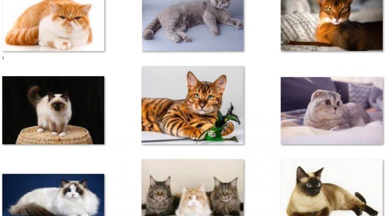 Top 10 giống mèo đẹp tình cảm thông minh