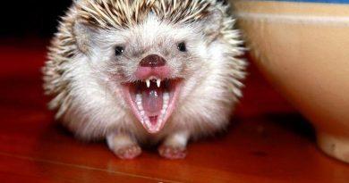 vấn đề răng miệng ở nhím kiểng