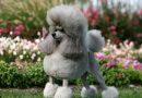 Thức ăn cho chó Poodle từng độ tuổi, giúp Poodle mượt lông