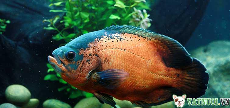 Ca Heo Lua Ca Tai Tuong Chau Phi Oscar Fish 5
