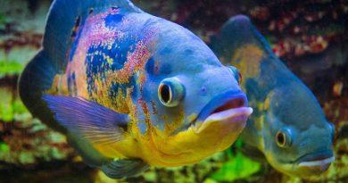 Ca Heo Lua Ca Tai Tuong Chau Phi Oscar Fish 7