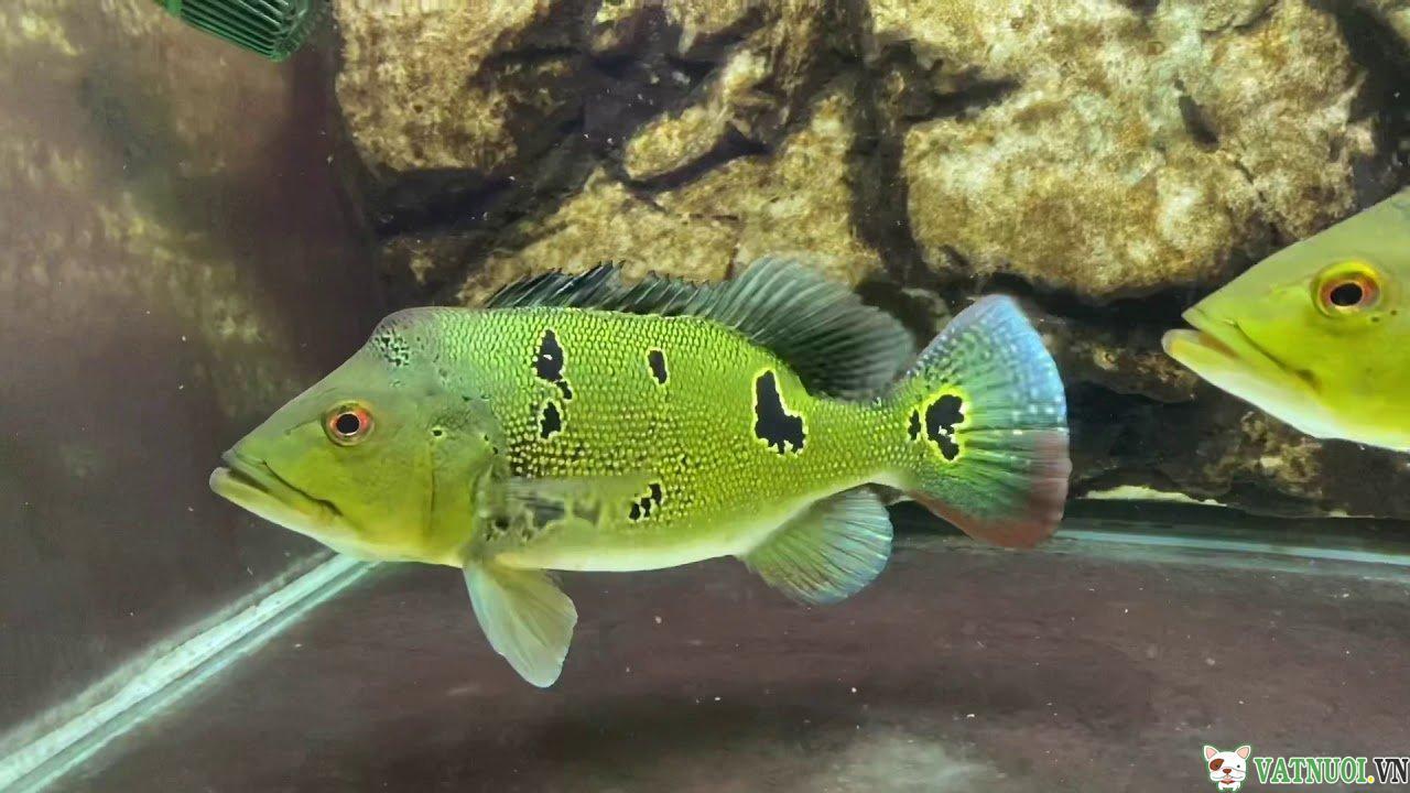Cá Hoàng Bảo Yến