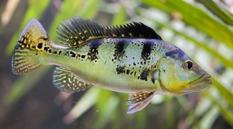 Ca Hoang Bao Yen peacock bass 6 vatnuoi.vn