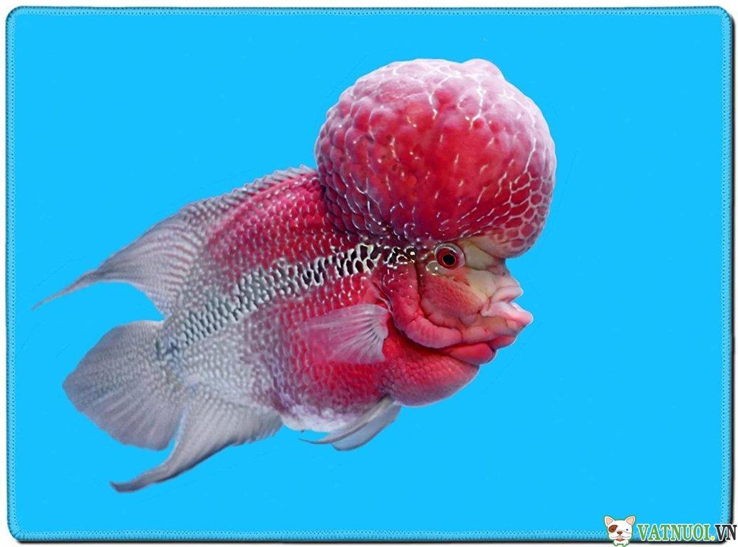 Cá La Hán Kim Cương