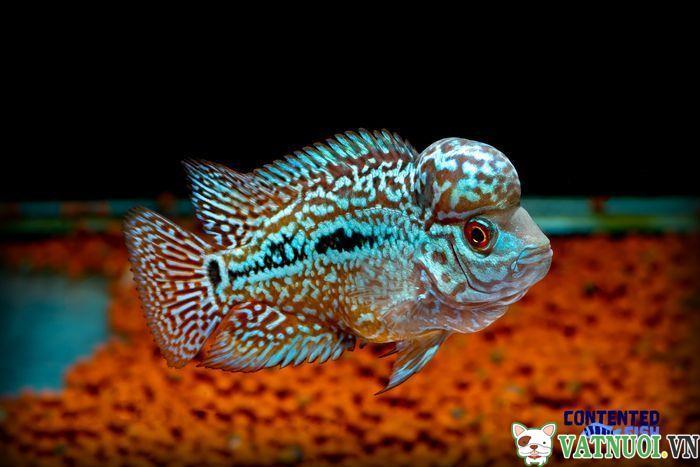 Cá La Hán King Kamfa