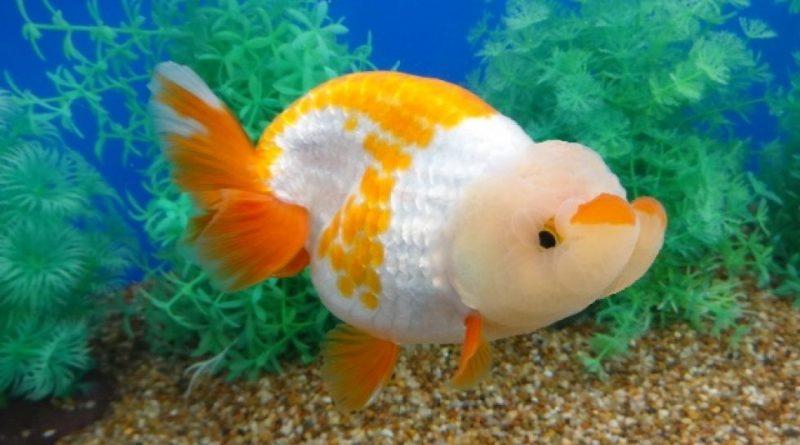 Ca Ranchu Buffalo Head Goldfish 2