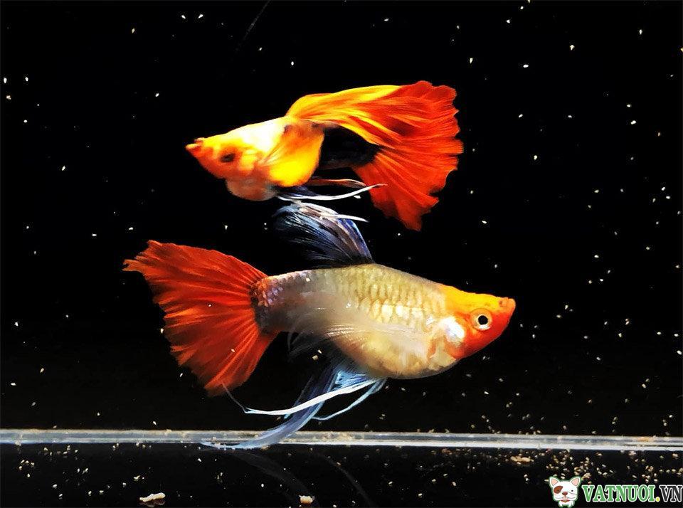 Nhóm Cá Bảy Mầu đuôi rộng (Boardtail)