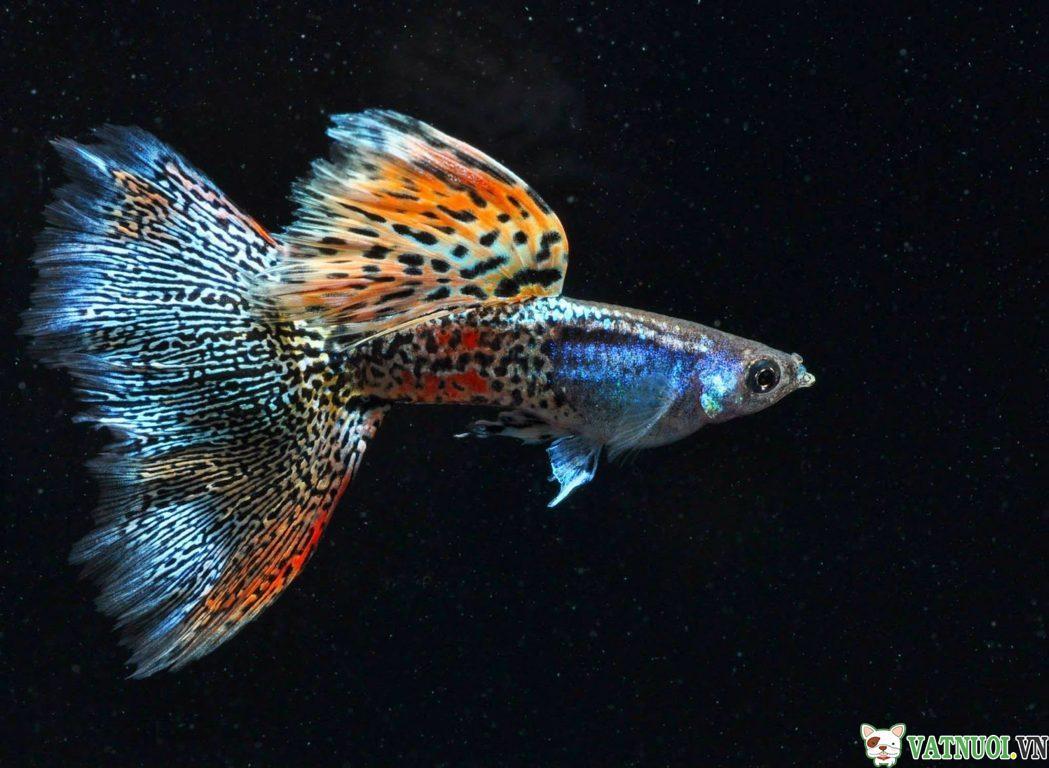 Phân loại Cá Bảy Màu