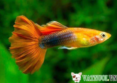 Cá bảy màu Nhật