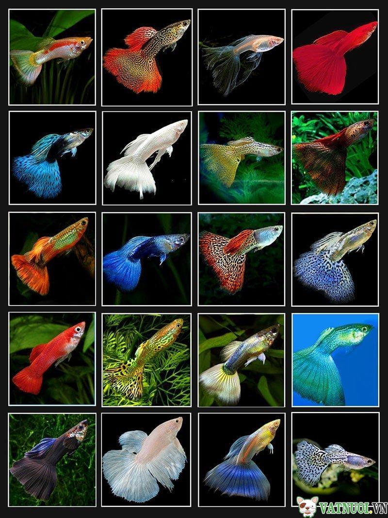 phân loại các loại cá 7 màu