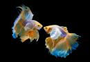 Cách Ép Cá Betta Đúng Kỹ Thuật cho hiệu quả cao