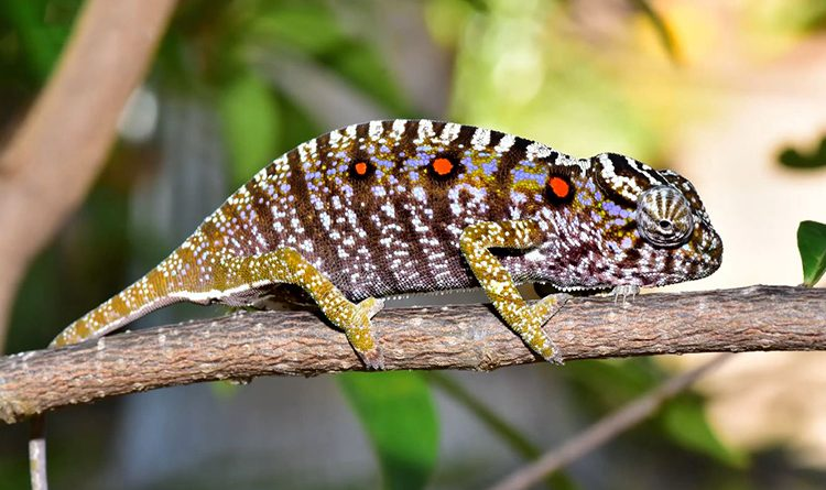 Tắc Kè Hoa(Chameleons)