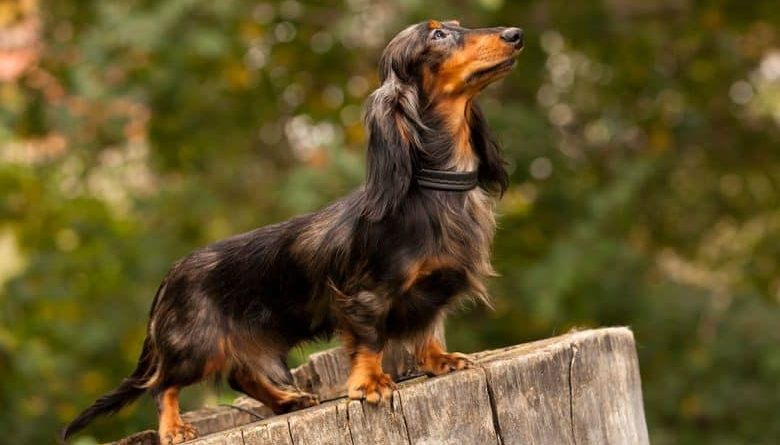 Cho Lap xuong xuc xich Dachshund Dog 22