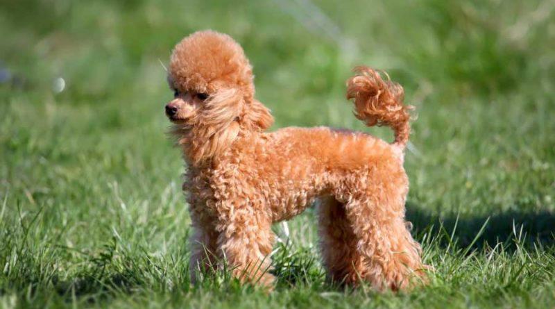 Cho Poodle Dog 1