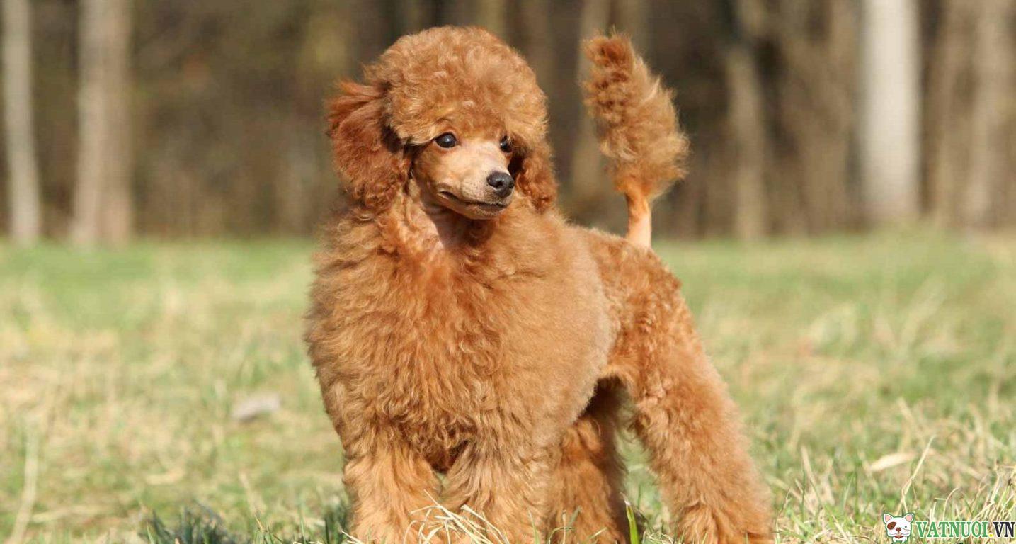 lông chó Poodle
