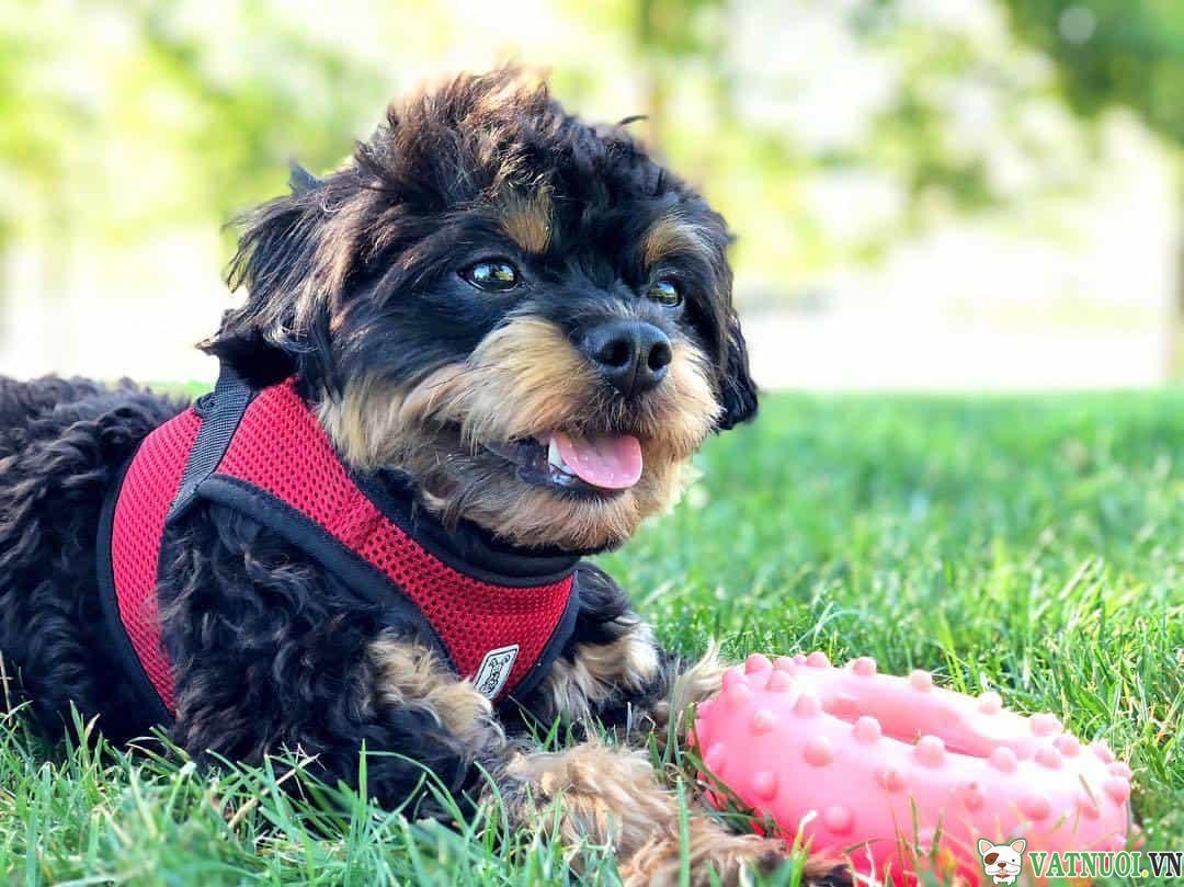 Chó Poodle Lai